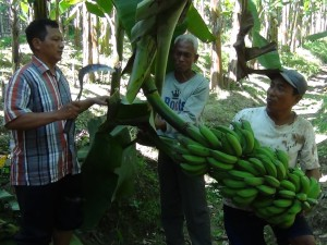 salah seorang petani pisang di kecamatan bayat klaten sedang memanen pisang jenis ambon